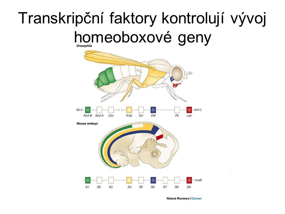 Transkripční faktory kontrolují vývoj homeoboxové geny
