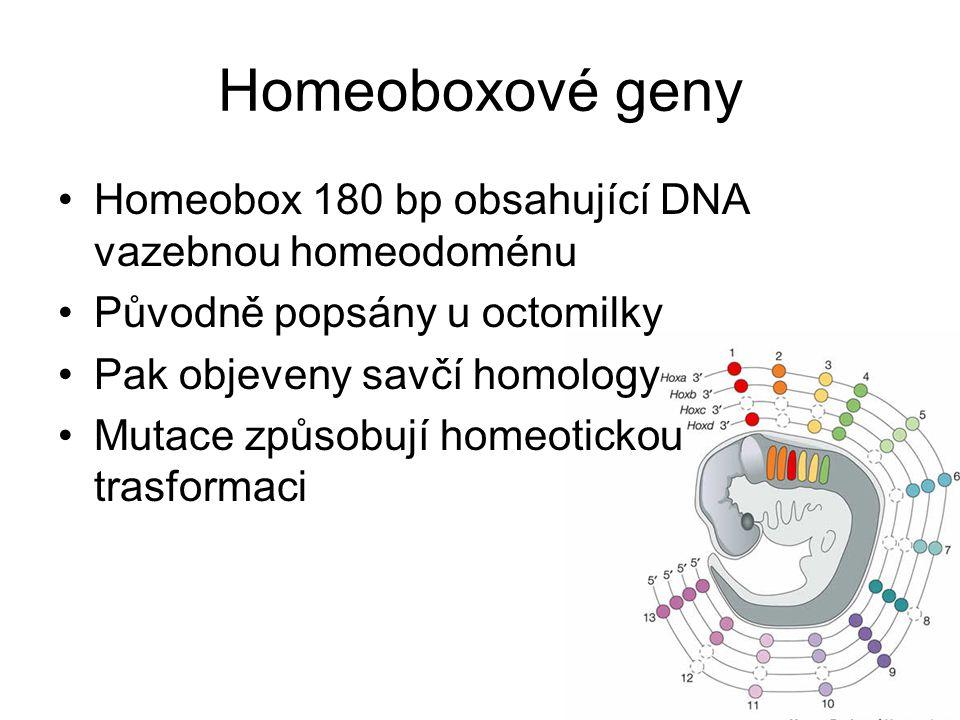 Homeoboxové geny Homeobox 180 bp obsahující DNA vazebnou homeodoménu