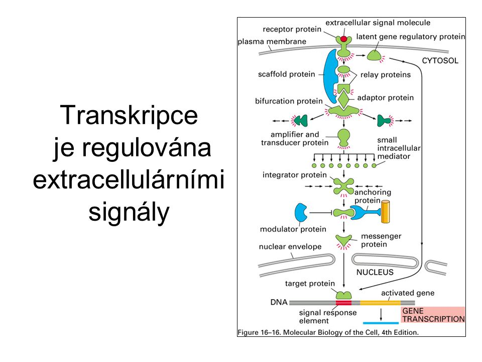 Transkripce je regulována extracellulárními signály