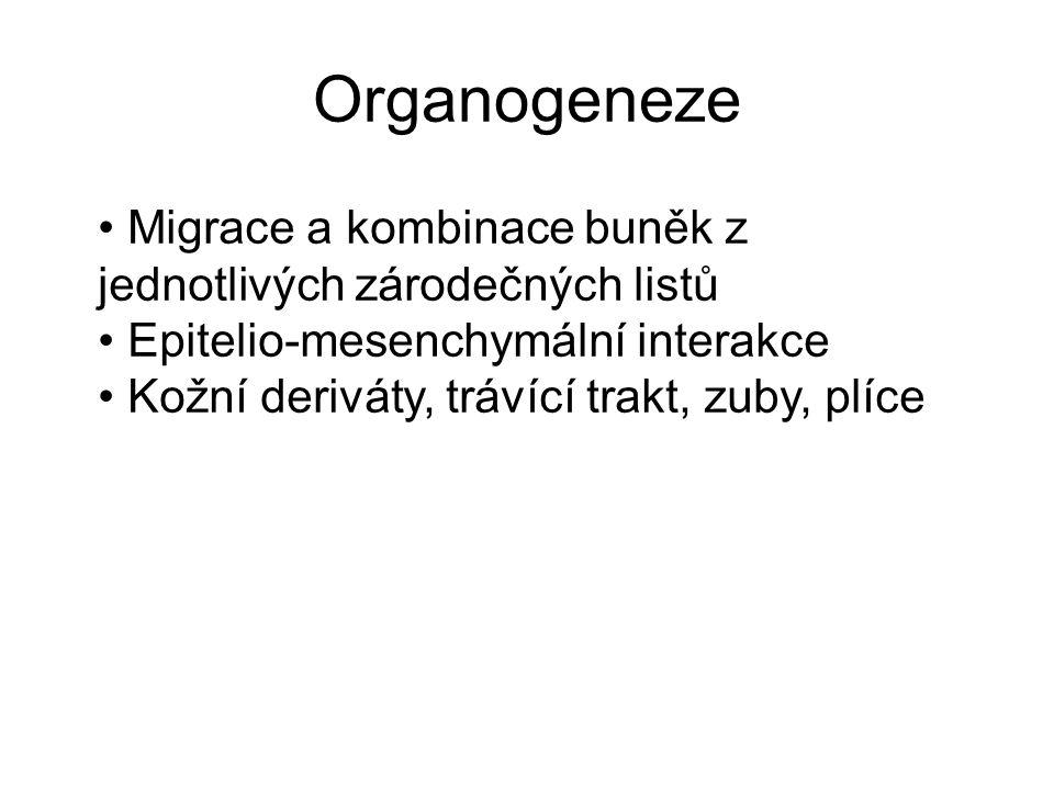 Organogeneze Migrace a kombinace buněk z jednotlivých zárodečných listů. Epitelio-mesenchymální interakce.