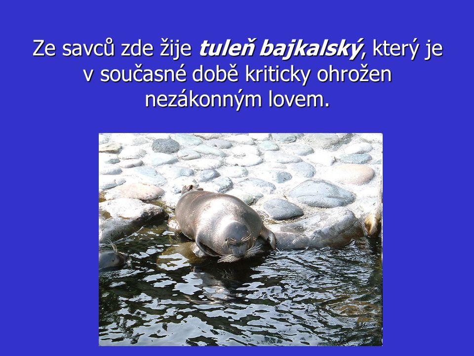 Ze savců zde žije tuleň bajkalský, který je