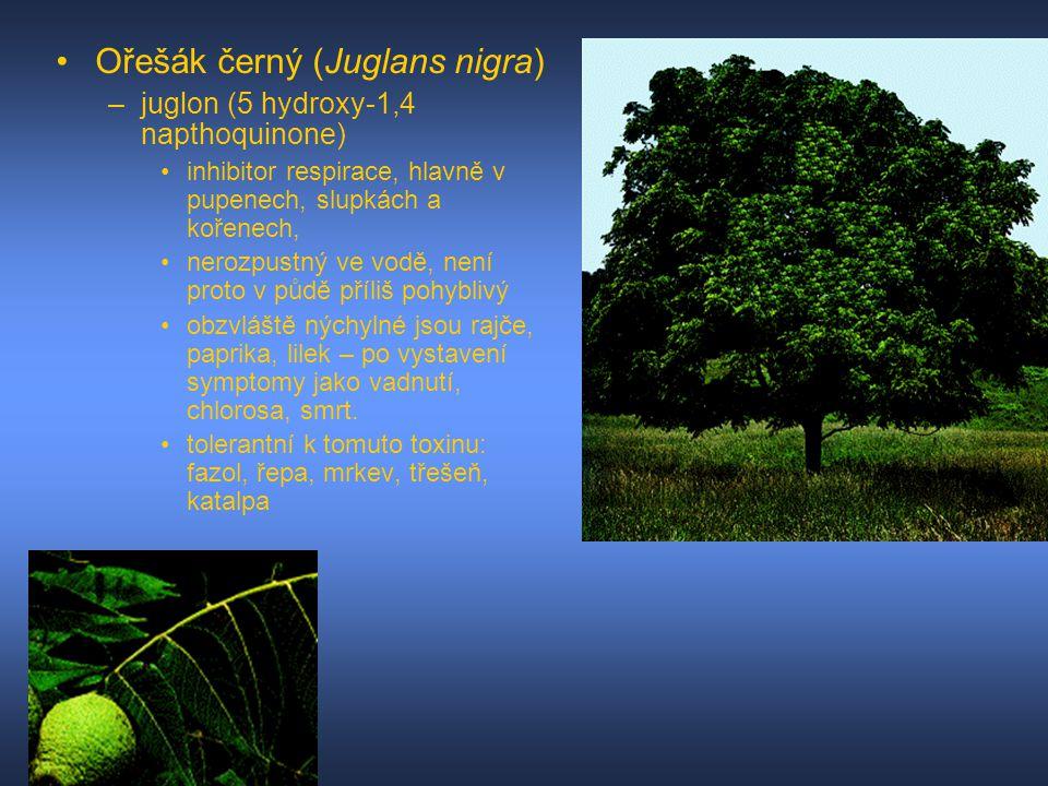 Ořešák černý (Juglans nigra)