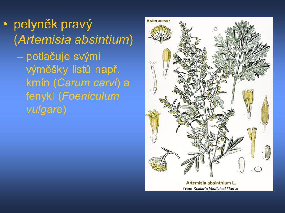 pelyněk pravý (Artemisia absintium)