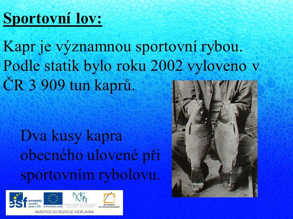 Sportovní lov: Kapr je významnou sportovní rybou. Podle statik bylo roku 2002 vyloveno v ČR 3 909 tun kaprů.