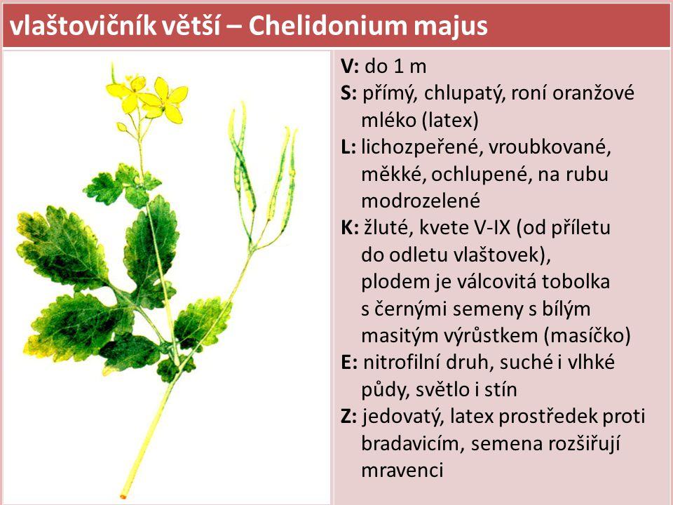 vlaštovičník větší – Chelidonium majus