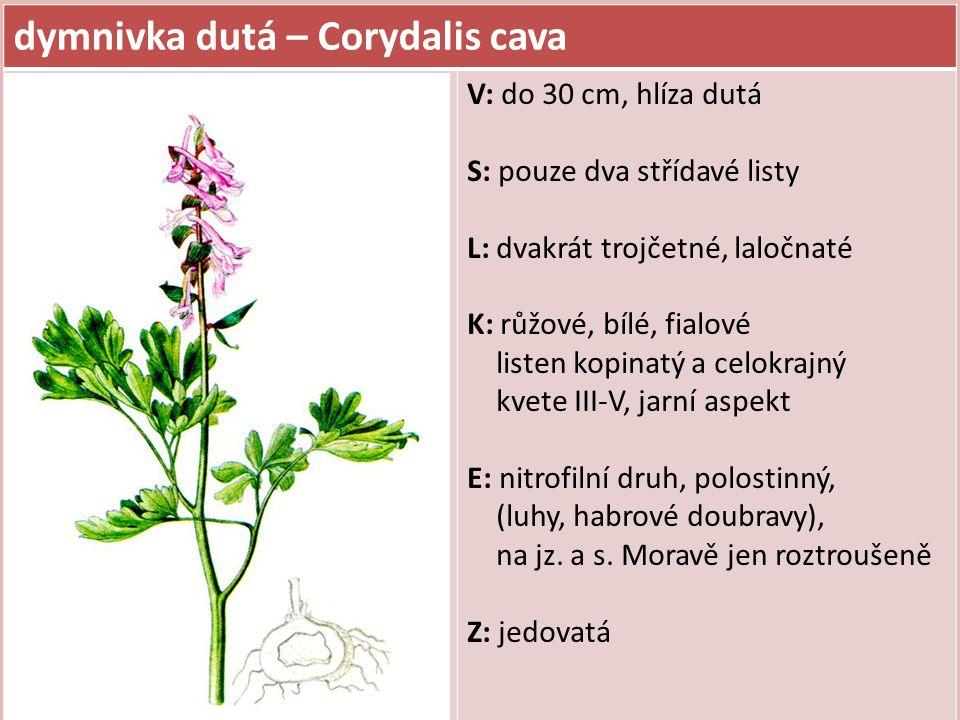 dymnivka dutá – Corydalis cava