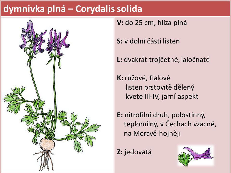 dymnivka plná – Corydalis solida