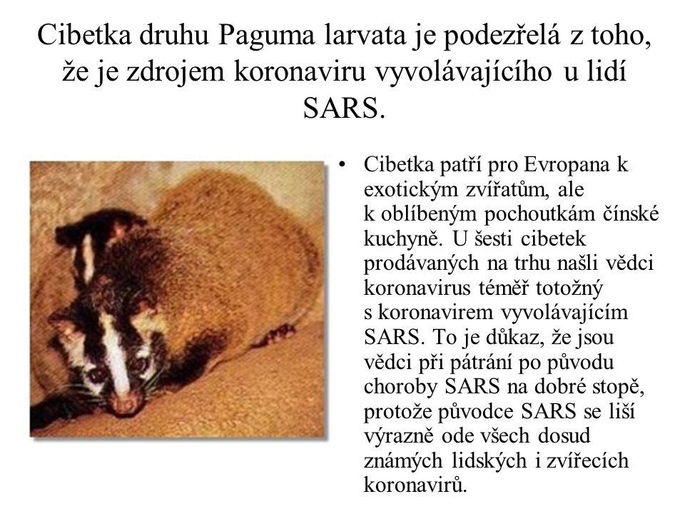 Cibetka druhu Paguma larvata je podezřelá z toho, že je zdrojem koronaviru vyvolávajícího u lidí SARS.