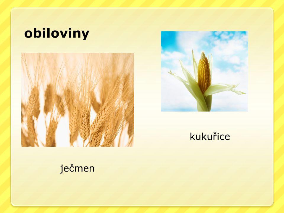 obiloviny kukuřice ječmen