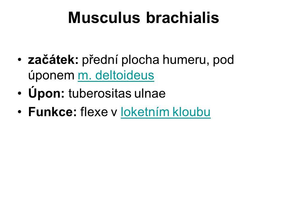Musculus brachialis začátek: přední plocha humeru, pod úponem m. deltoideus. Úpon: tuberositas ulnae.