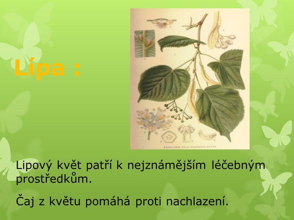 Lípa : Lipový květ patří k nejznámějším léčebným prostředkům.