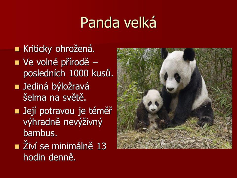 Panda velká Kriticky ohrožená.