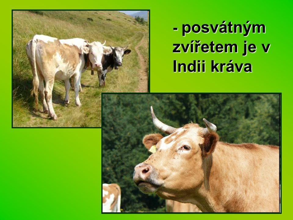 - posvátným zvířetem je v Indii kráva