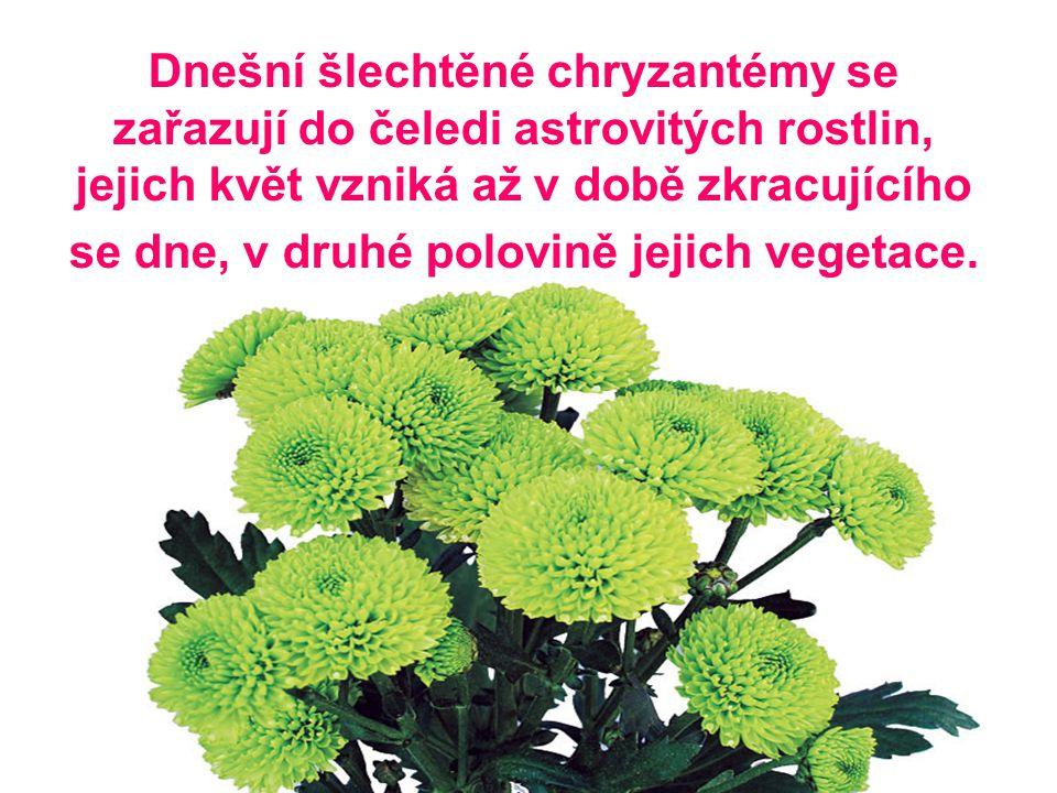 Dnešní šlechtěné chryzantémy se zařazují do čeledi astrovitých rostlin, jejich květ vzniká až v době zkracujícího se dne, v druhé polovině jejich vegetace.