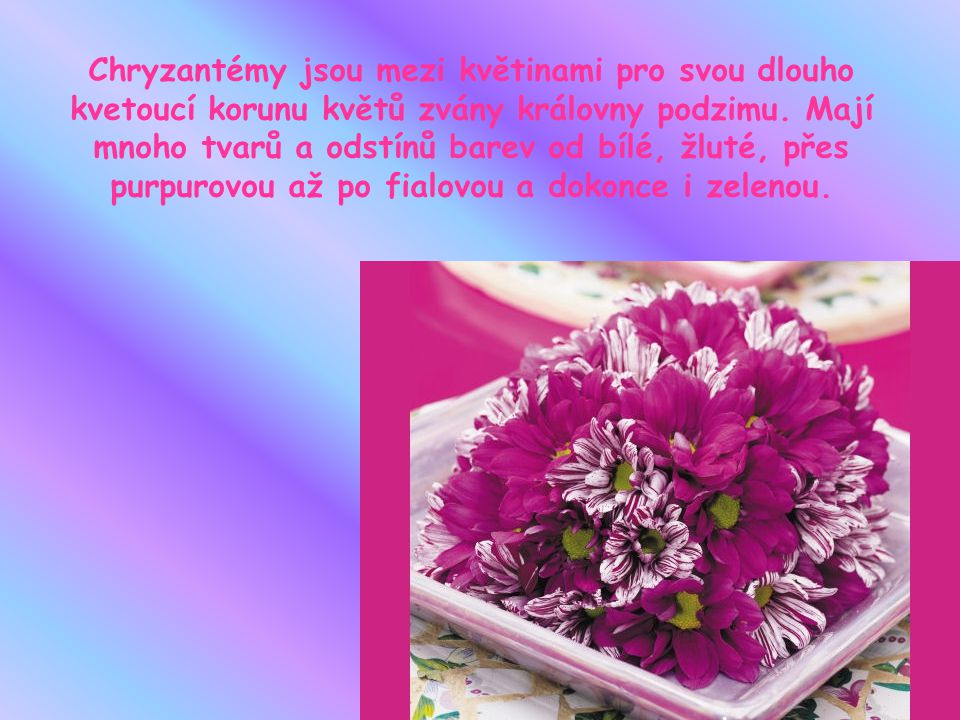 Chryzantémy jsou mezi květinami pro svou dlouho kvetoucí korunu květů zvány královny podzimu.