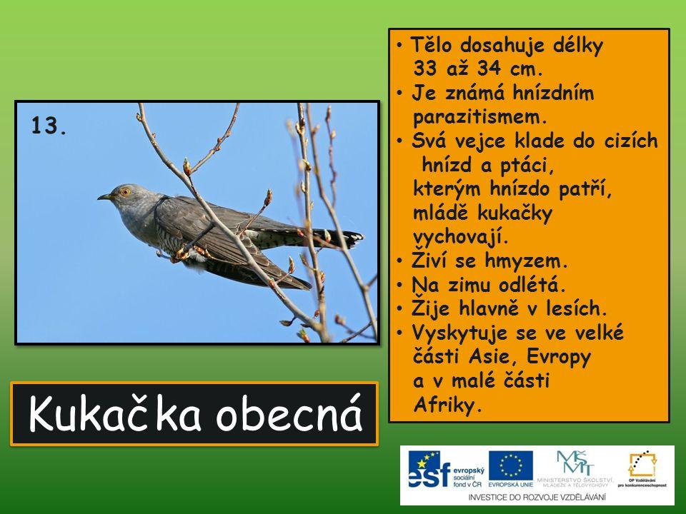 Kukačka obecná 13. Je známá hnízdním parazitismem.