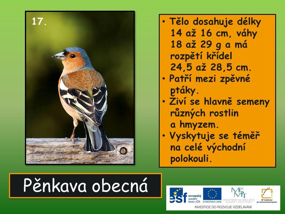 17. Tělo dosahuje délky 14 až 16 cm, váhy 18 až 29 g a má. rozpětí křídel 24,5 až 28,5 cm.