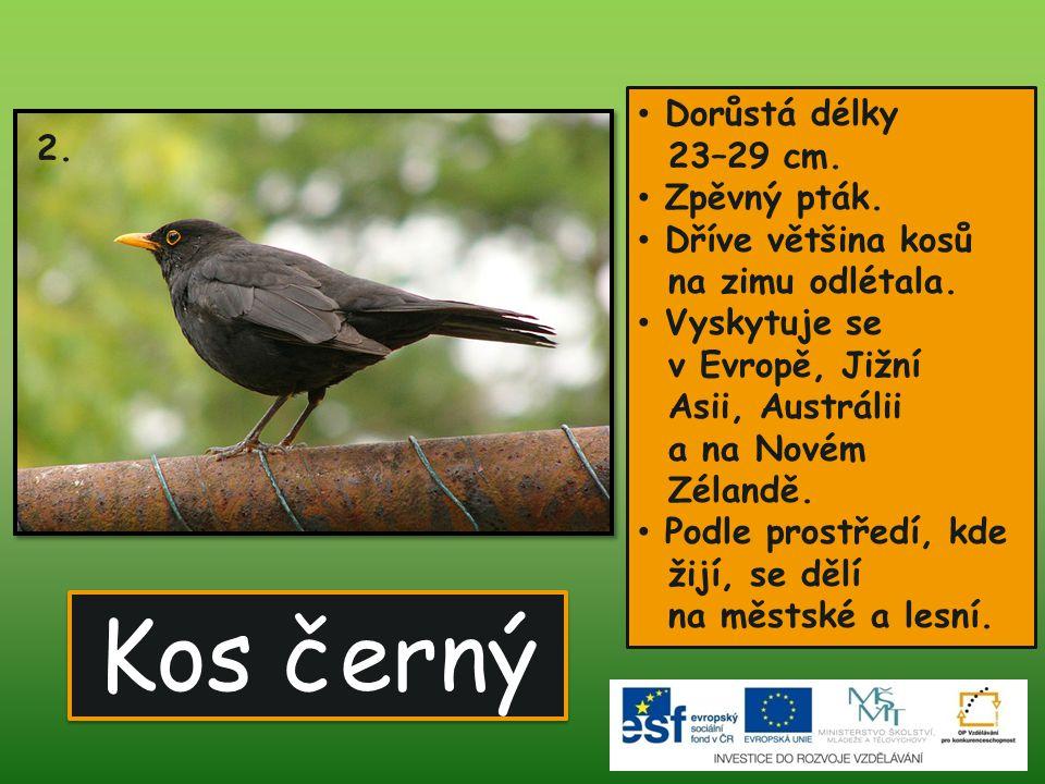 Kos černý Dorůstá délky 23–29 cm. 2. Zpěvný pták. Dříve většina kosů