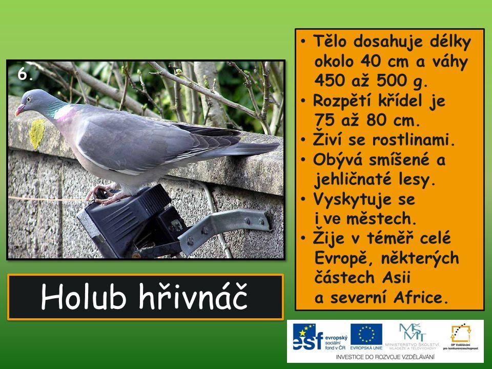 Holub hřivnáč Tělo dosahuje délky okolo 40 cm a váhy 450 až 500 g.