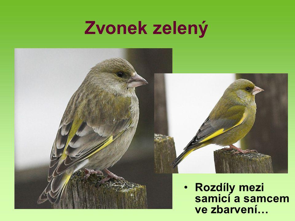 Zvonek zelený Rozdíly mezi samicí a samcem ve zbarvení…
