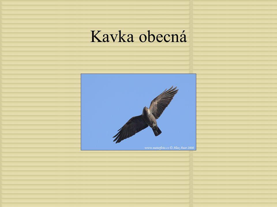 Kavka obecná