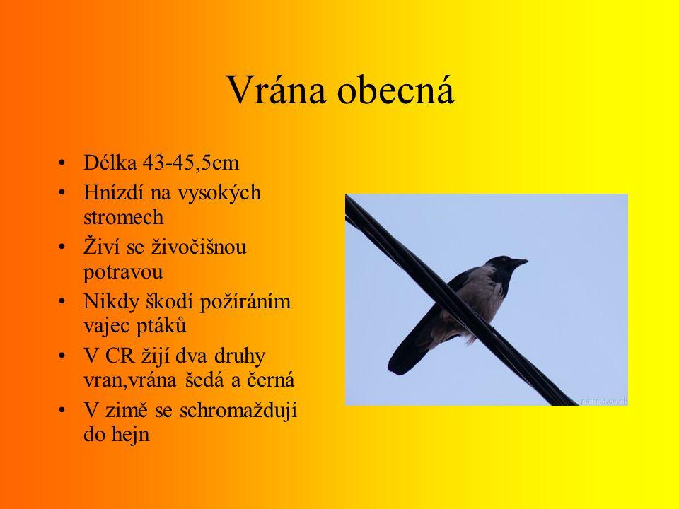 Vrána obecná Délka 43-45,5cm Hnízdí na vysokých stromech