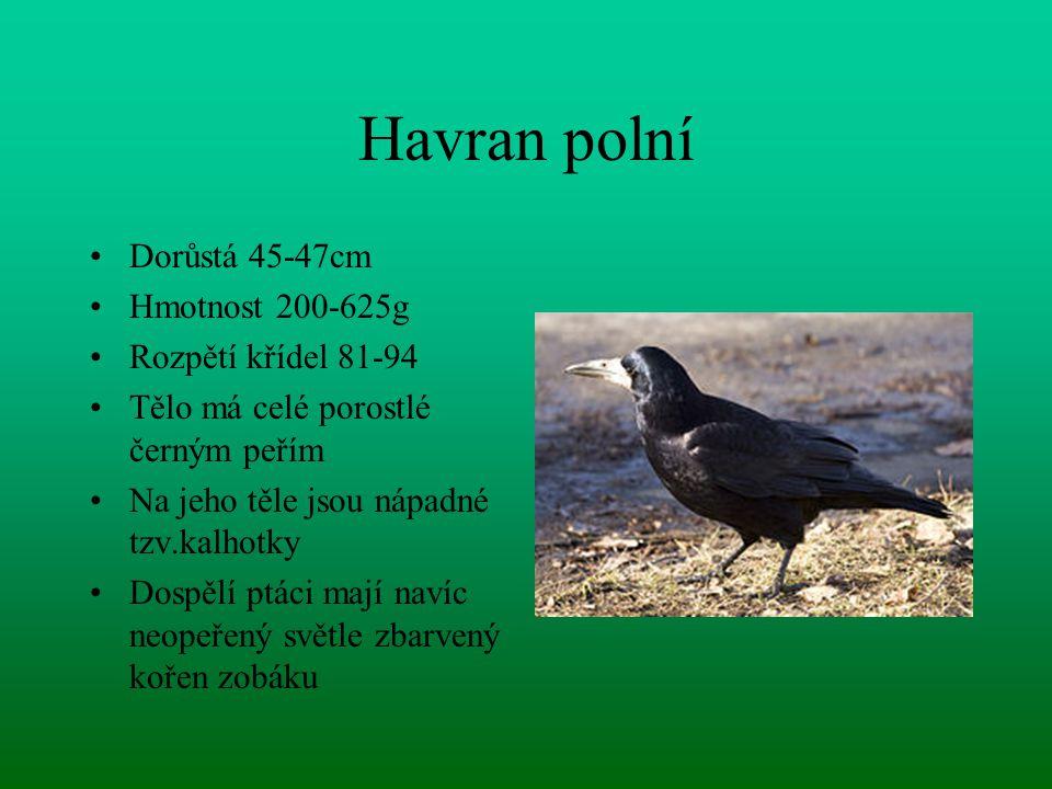 Havran polní Dorůstá 45-47cm Hmotnost 200-625g Rozpětí křídel 81-94