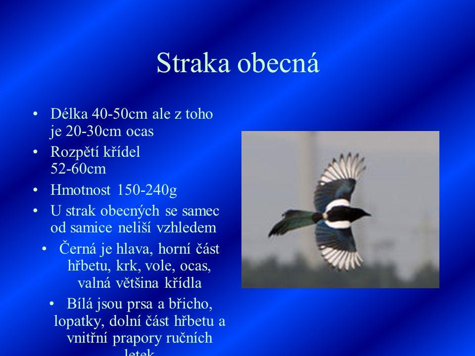 Straka obecná Délka 40-50cm ale z toho je 20-30cm ocas