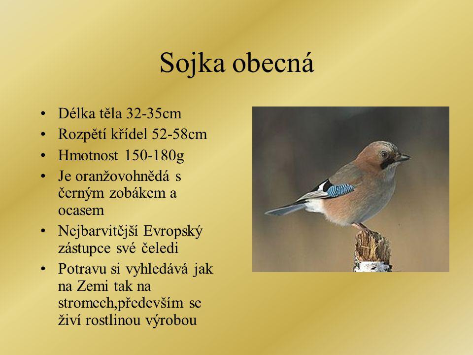 Sojka obecná Délka těla 32-35cm Rozpětí křídel 52-58cm