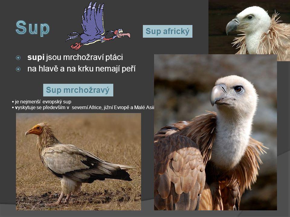 Sup Sup africký supi jsou mrchožraví ptáci