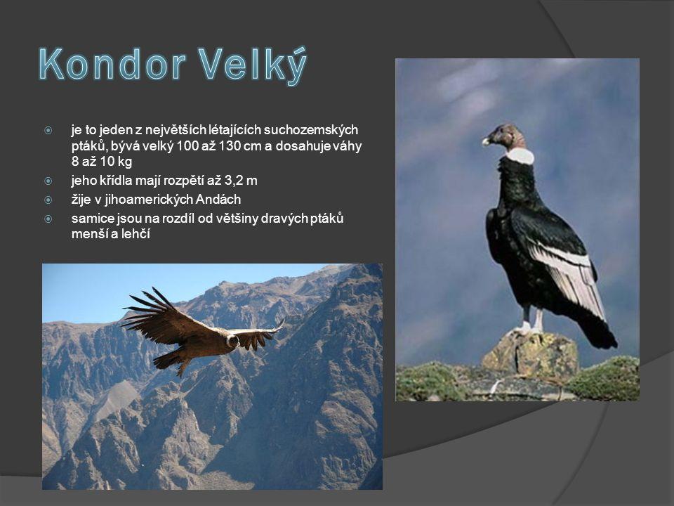 Kondor Velký je to jeden z největších létajících suchozemských ptáků, bývá velký 100 až 130 cm a dosahuje váhy 8 až 10 kg.