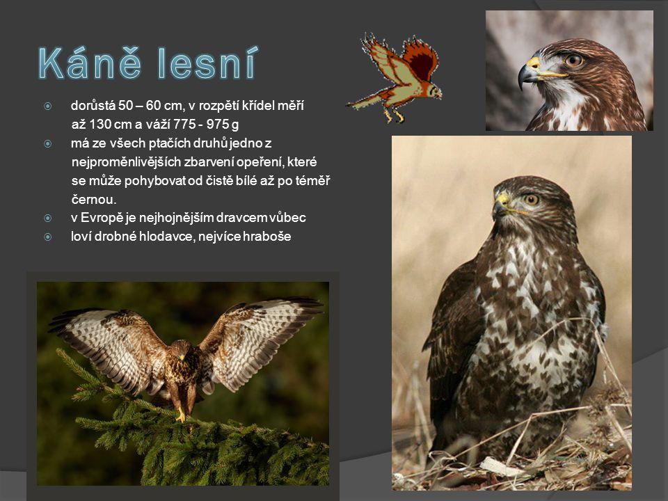 Káně lesní dorůstá 50 – 60 cm, v rozpětí křídel měří