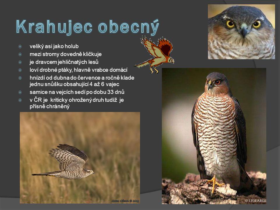 Krahujec obecný veliký asi jako holub mezi stromy dovedně kličkuje