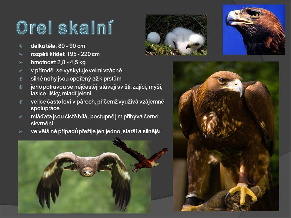 Orel skalní délka těla: 80 - 90 cm rozpětí křídel: 195 - 220 cm
