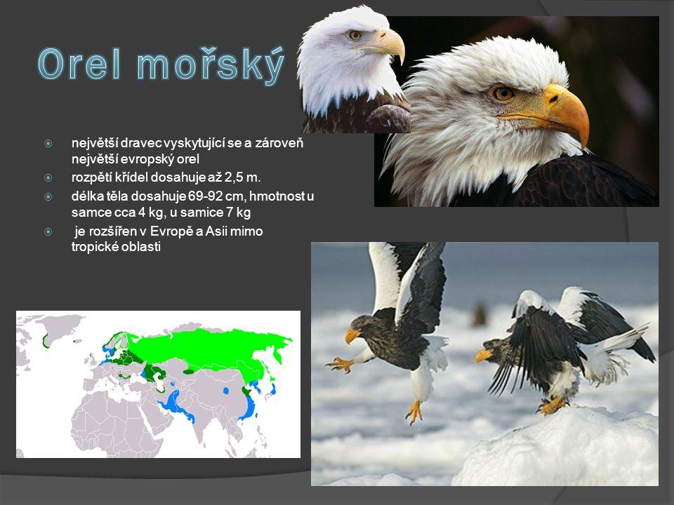 Orel mořský největší dravec vyskytující se a zároveň největší evropský orel. rozpětí křídel dosahuje až 2,5 m.