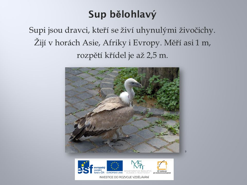 Sup bělohlavý Supi jsou dravci, kteří se živí uhynulými živočichy. Žijí v horách Asie, Afriky i Evropy. Měří asi 1 m, rozpětí křídel je až 2,5 m.