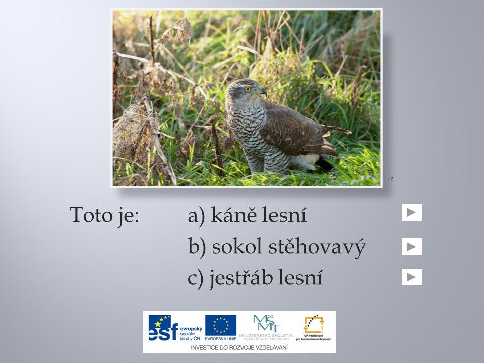 10 Toto je: a) káně lesní b) sokol stěhovavý c) jestřáb lesní