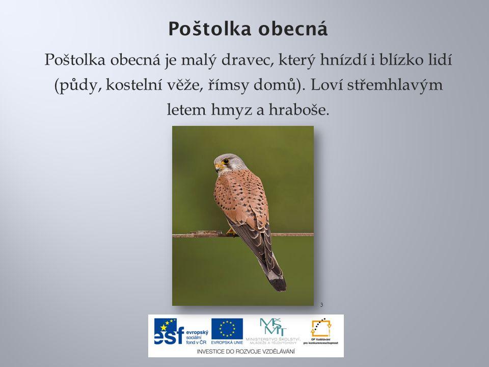 Poštolka obecná Poštolka obecná je malý dravec, který hnízdí i blízko lidí (půdy, kostelní věže, římsy domů). Loví střemhlavým letem hmyz a hraboše.