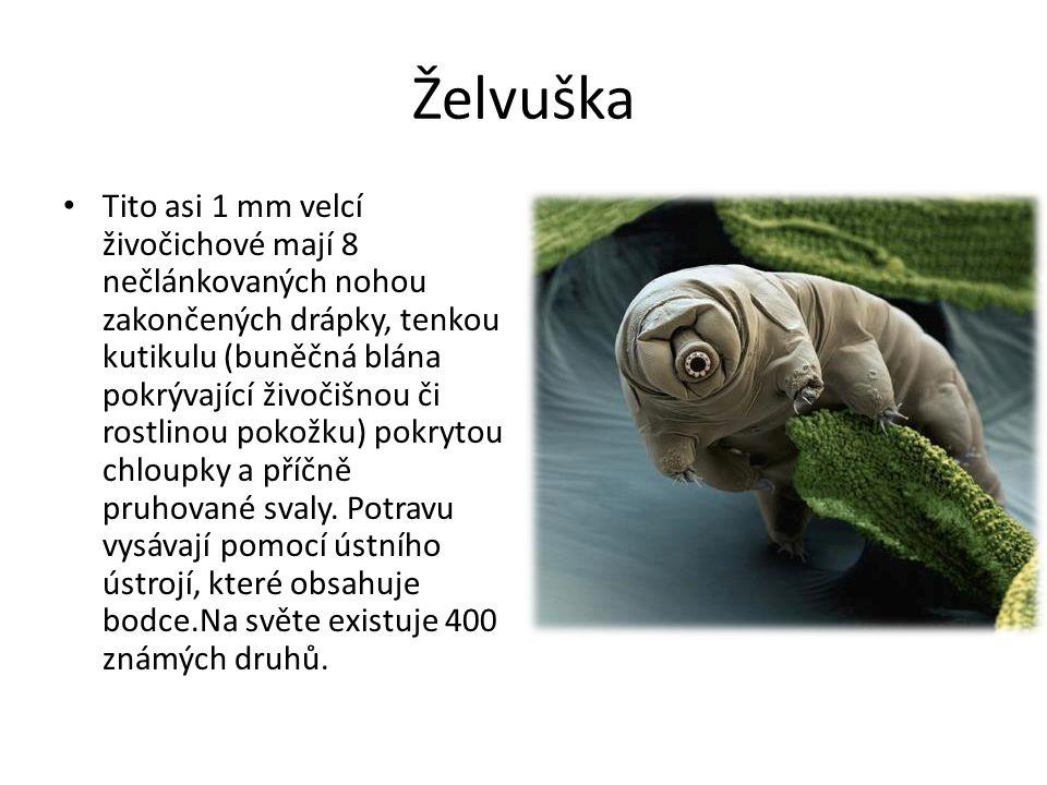 Želvuška