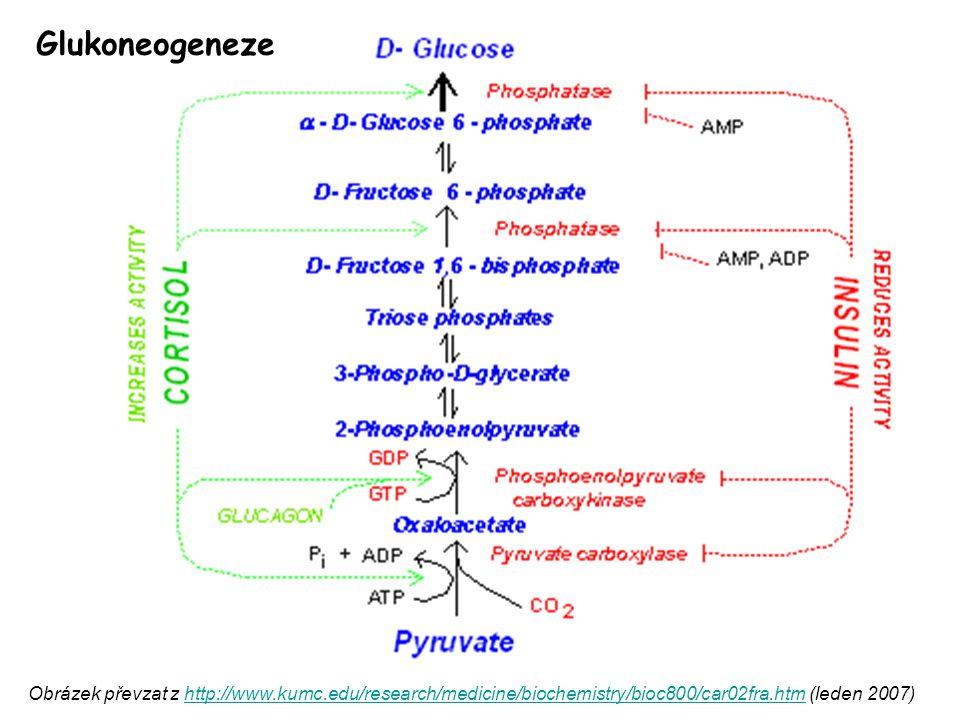 Glukoneogeneze Obrázek převzat z http://www.kumc.edu/research/medicine/biochemistry/bioc800/car02fra.htm (leden 2007)