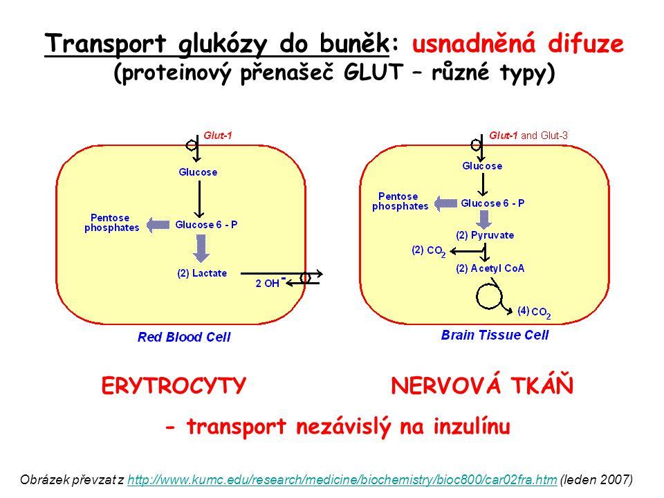 ERYTROCYTY NERVOVÁ TKÁŇ - transport nezávislý na inzulínu