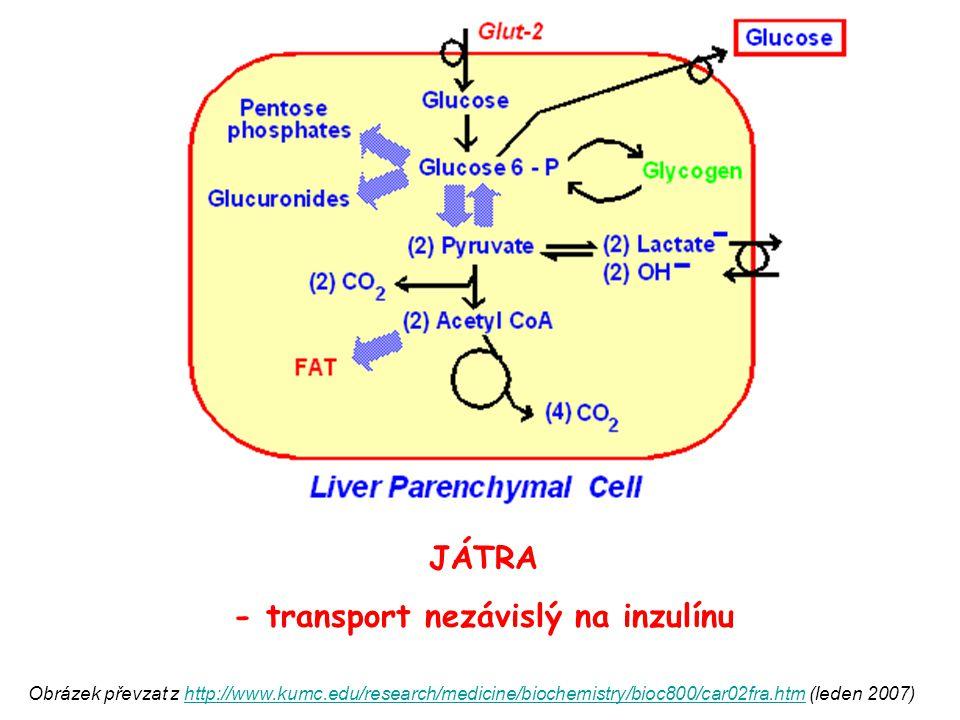 - transport nezávislý na inzulínu