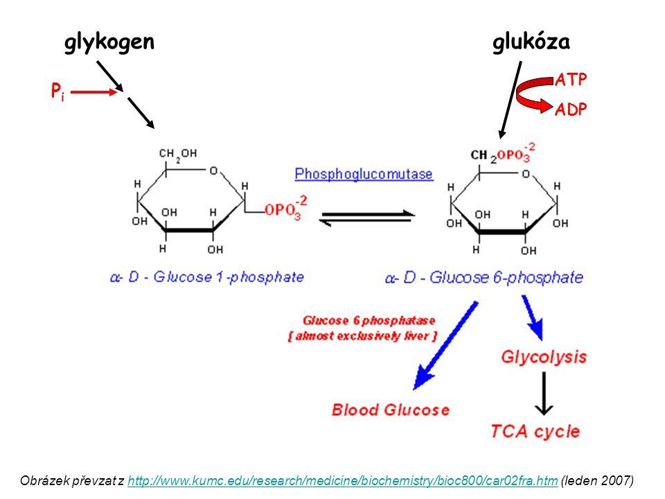glykogen glukóza Pi ATP ADP