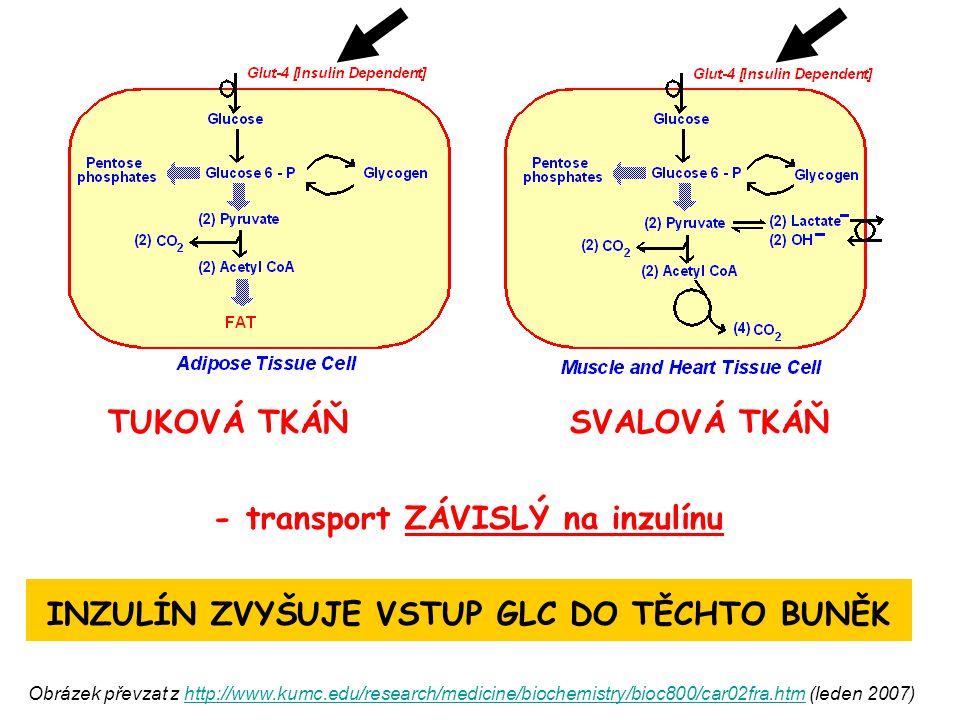 TUKOVÁ TKÁŇ SVALOVÁ TKÁŇ - transport ZÁVISLÝ na inzulínu