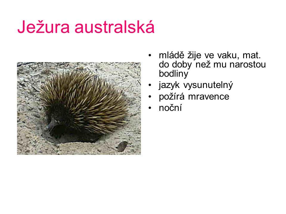 Ježura australská mládě žije ve vaku, mat. do doby než mu narostou bodliny. jazyk vysunutelný. požírá mravence.