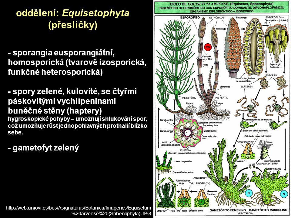 oddělení: Equisetophyta (přesličky)