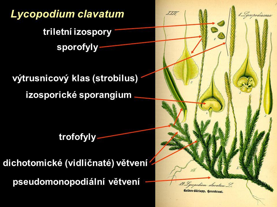 výtrusnicový klas (strobilus) izosporické sporangium