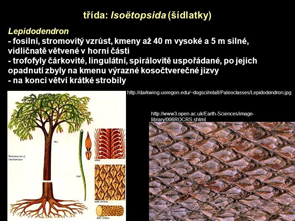 třída: Isoëtopsida (šídlatky)