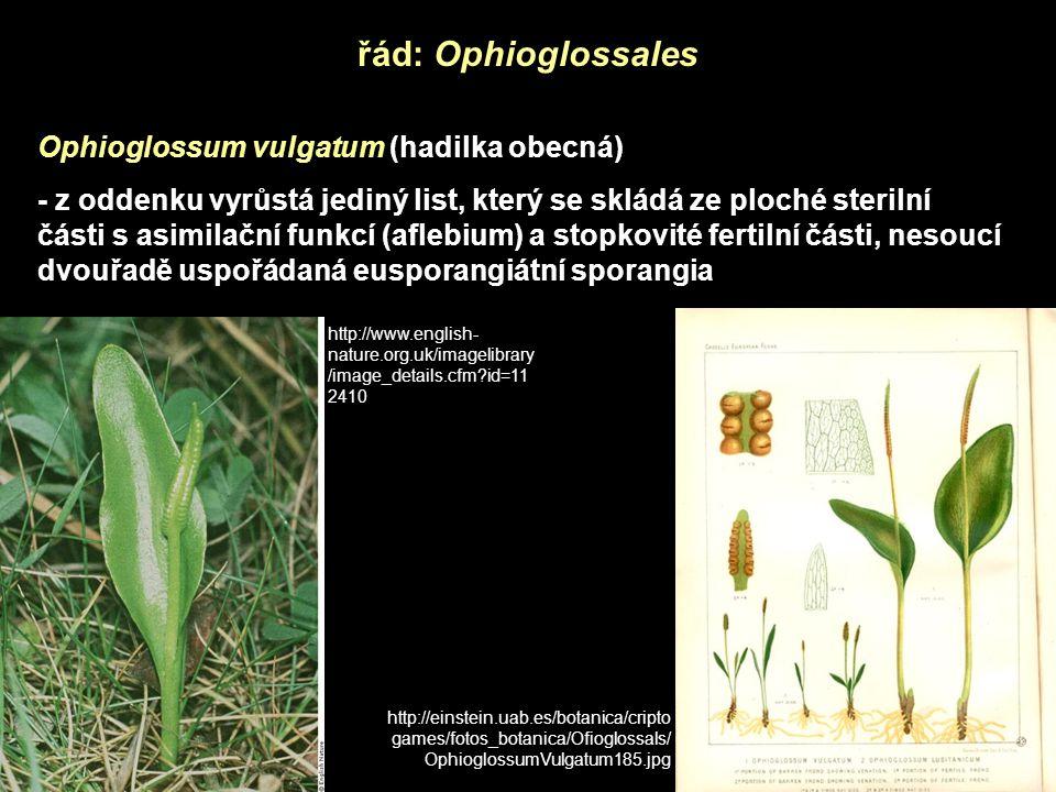 řád: Ophioglossales Ophioglossum vulgatum (hadilka obecná)