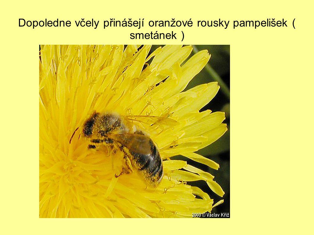 Dopoledne včely přinášejí oranžové rousky pampelišek ( smetánek )